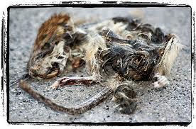 Histoire de la souris raton